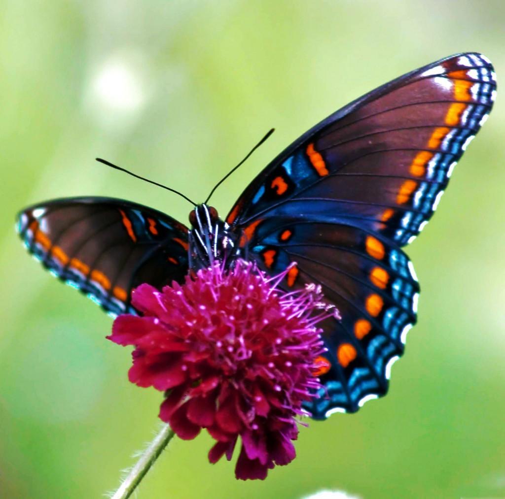 butterfly_3-jpg